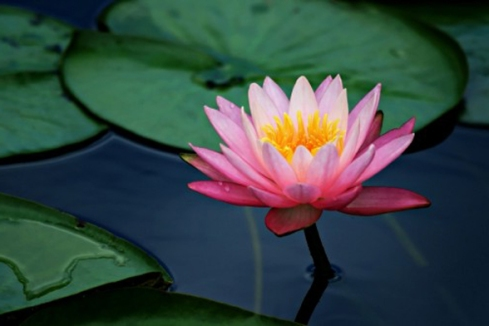 https://teenbuddha.files.wordpress.com/2013/03/lily_pad_lotus_flower.jpg?w=489&h=326